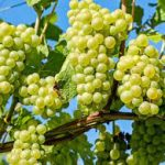 عطش باغات انگور در دیار خوشههای طلایی/۱۲۵هزار تن محصول ازبین رفت